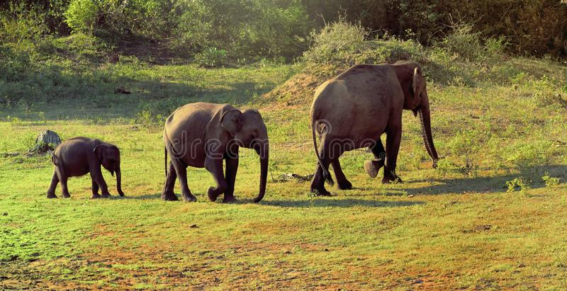 Elefantes familly em Sri Lanka fotos de stock royalty free