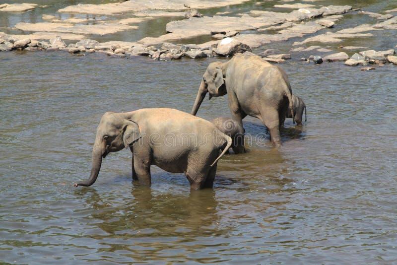 Elefantes indianos fotografia de stock