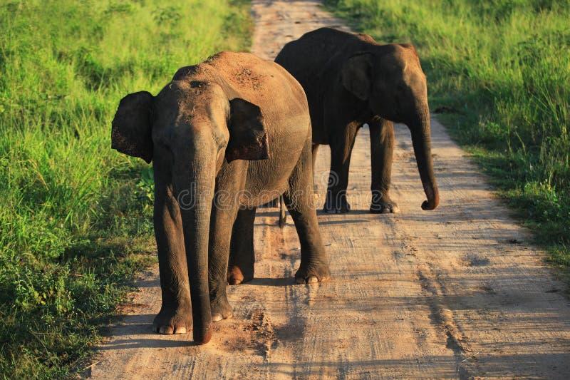 Elefantes indianos na estrada no parque nacional de Uda Walave foto de stock royalty free