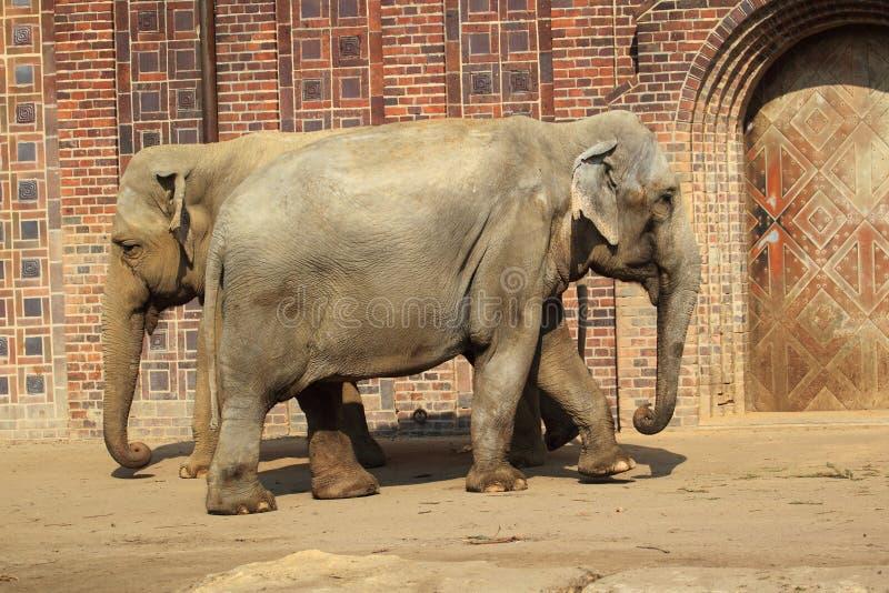 Elefantes indios fotos de archivo