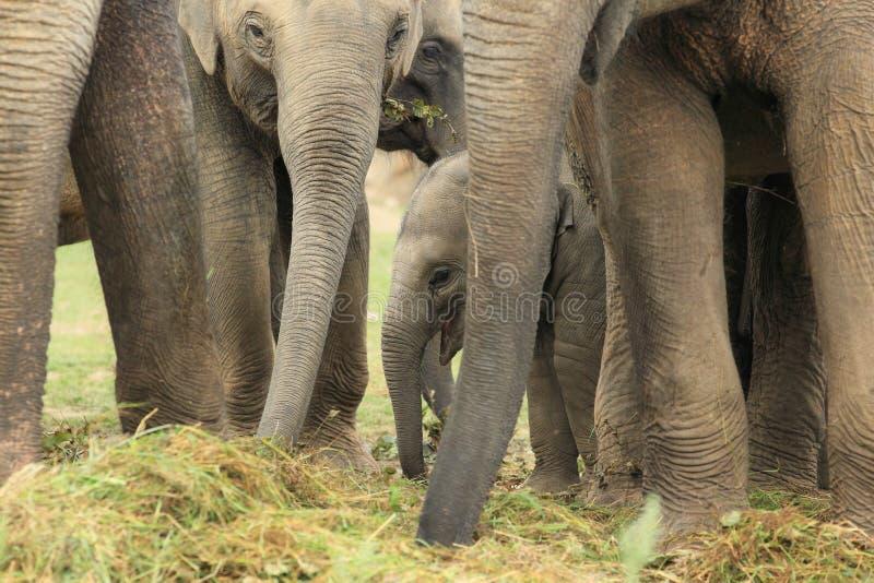 Elefantes indios fotografía de archivo libre de regalías