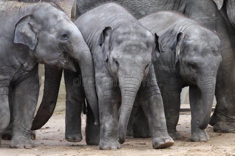 Elefantes jovenes imagenes de archivo