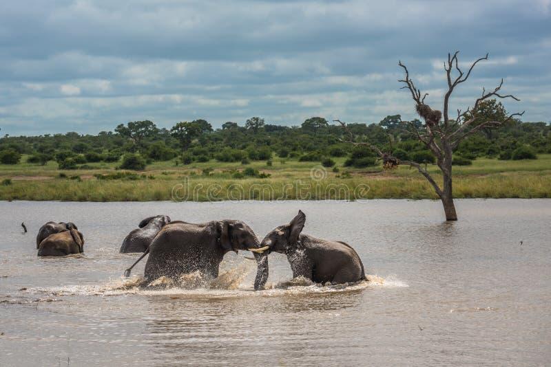 Elefantes jovenes que juegan en el agua, parque nacional de Kruger, Suráfrica imagen de archivo