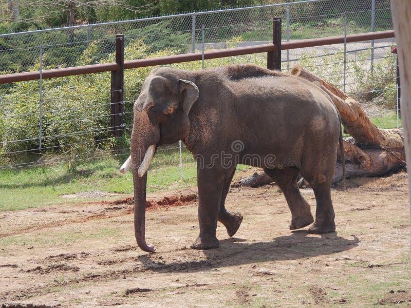 Elefantes, levantándose imagen de archivo libre de regalías