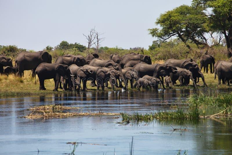 Elefantes na ferradura do waterhole, no parque nacional de Bwabwata, Namíbia fotografia de stock royalty free