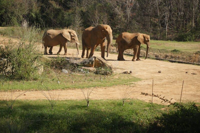 Elefantes no jardim zoológico do nc fotografia de stock royalty free