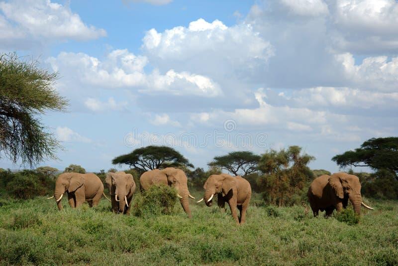 Elefantes no parque nacional de Amboseli foto de stock