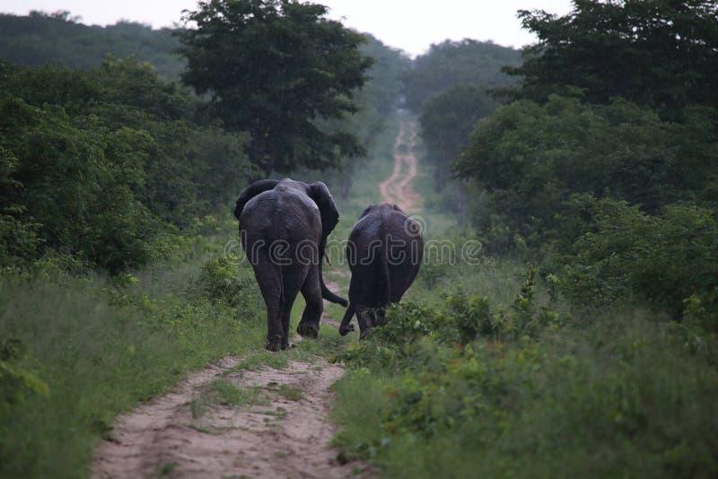 Elefantes no parque nacional de Hwage, Zimbabwe, elefante, presas, alojamento do olho do ` s do elefante imagem de stock royalty free
