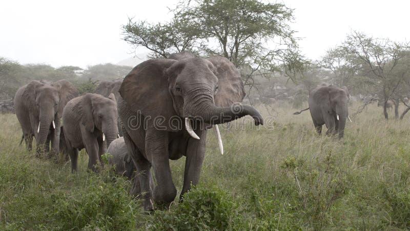 Elefantes no parque nacional de Serengeti imagem de stock royalty free