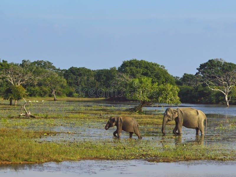 Elefantes no parque nacional do yala fotos de stock