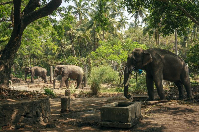 Elefantes no santuário de Punnathurkotta, Guruvayoor fotos de stock