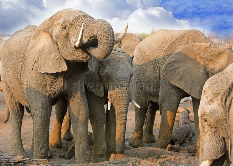 Elefantes que aglomeram-se em torno da tentativa obter uma bebida em Hwange imagens de stock