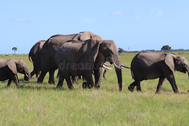 Elefantes que andam com bebê Calfs foto de stock royalty free