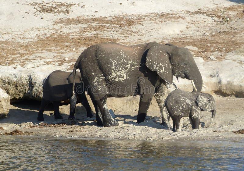 Elefantes que beben por el río de Chobe, Botswana fotografía de archivo