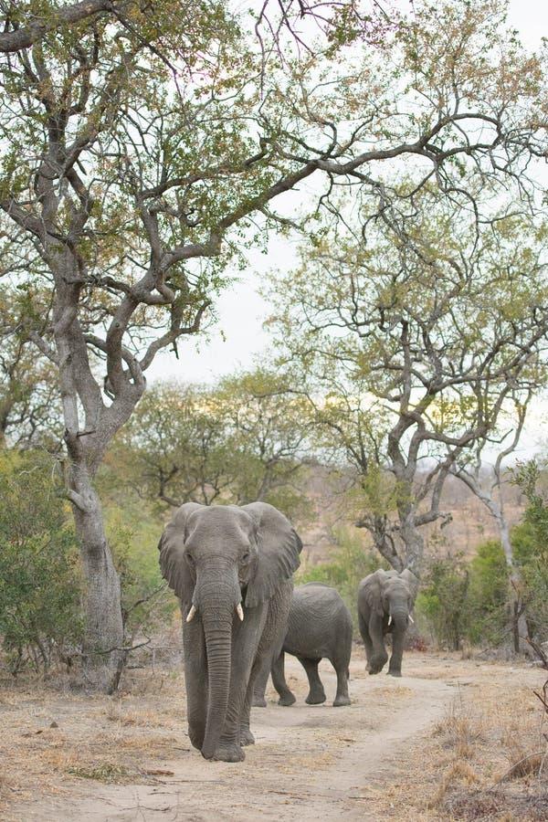 Elefantes que caminan abajo de un camino de tierra imagenes de archivo
