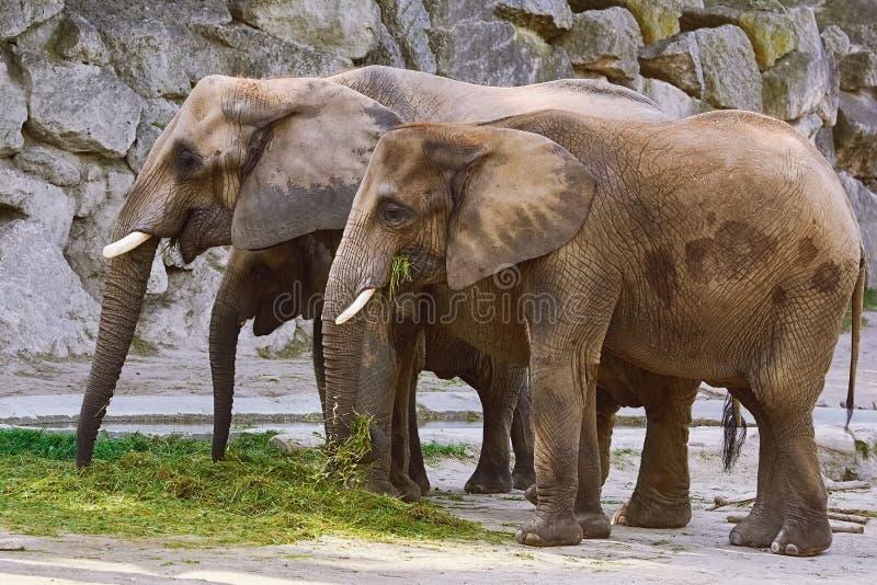 Elefantes que comen la hierba fotografía de archivo libre de regalías