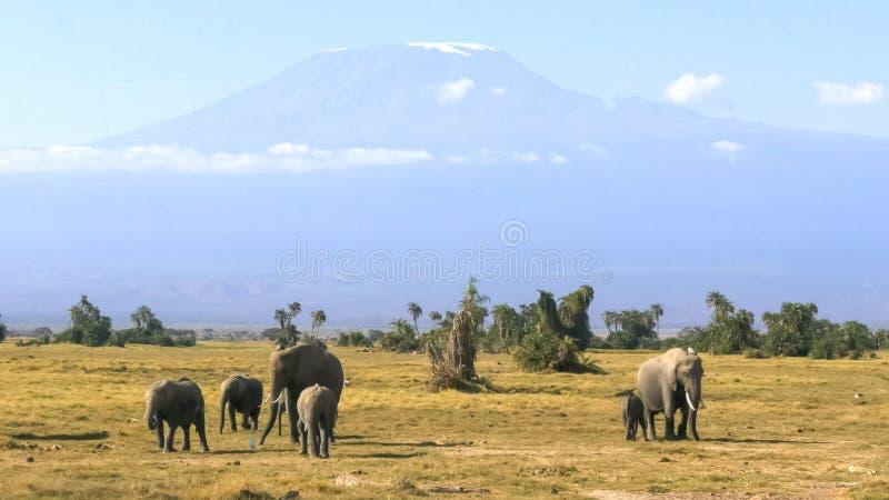 Elefantes que enfrentam para a frente com o kilimanjaro do mt no parque nacional do amboseli fotografia de stock