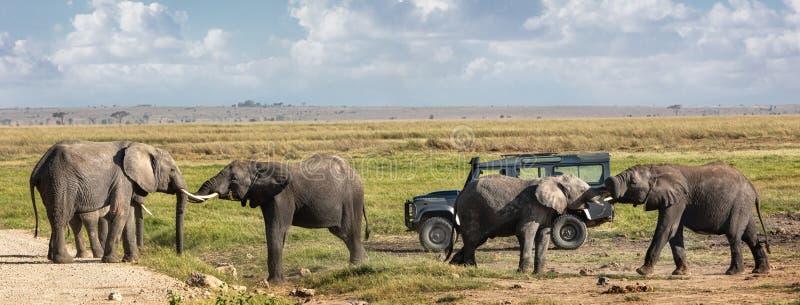 Elefantes que jogam em Front Of Safari Vehicle imagem de stock