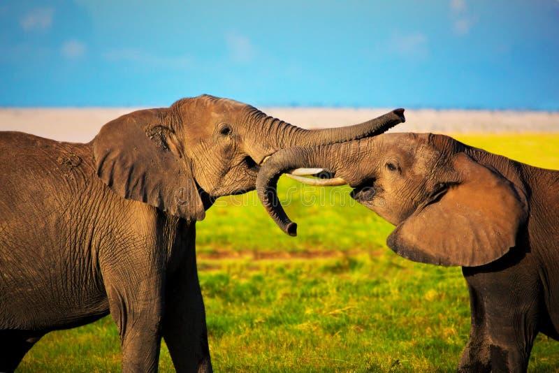Elefantes que jogam no savanna. Safari em Amboseli, Kenya, África foto de stock