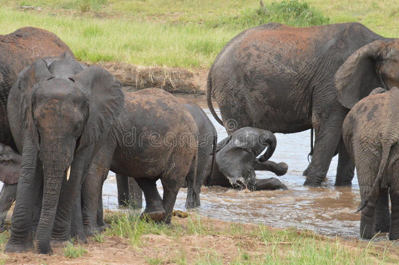 Elefantes que juegan en el agua fotografía de archivo libre de regalías