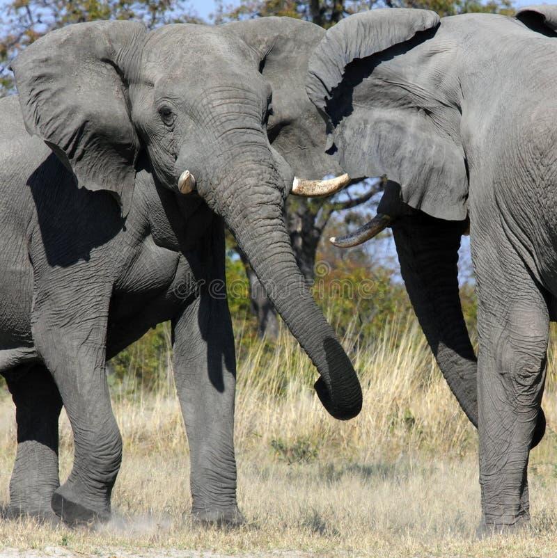 Elefantes que lutam - Savuti - Botswana fotos de stock