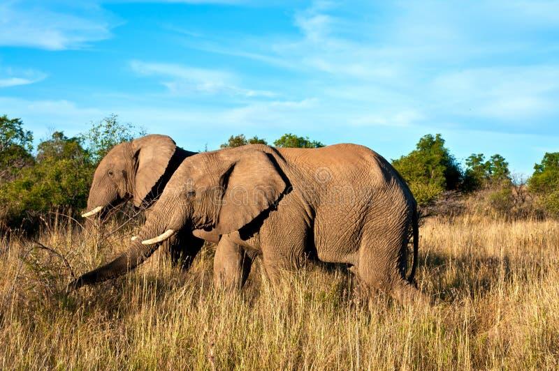Elefantes que recorren imagen de archivo libre de regalías