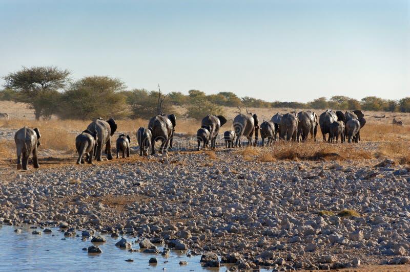 Elefantes que salen del waterhole fotos de archivo