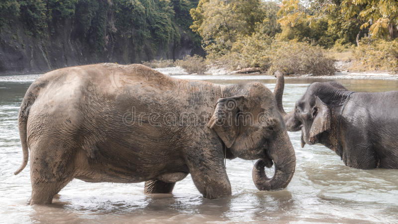 Elefantes que se bañan en el río imagen de archivo libre de regalías
