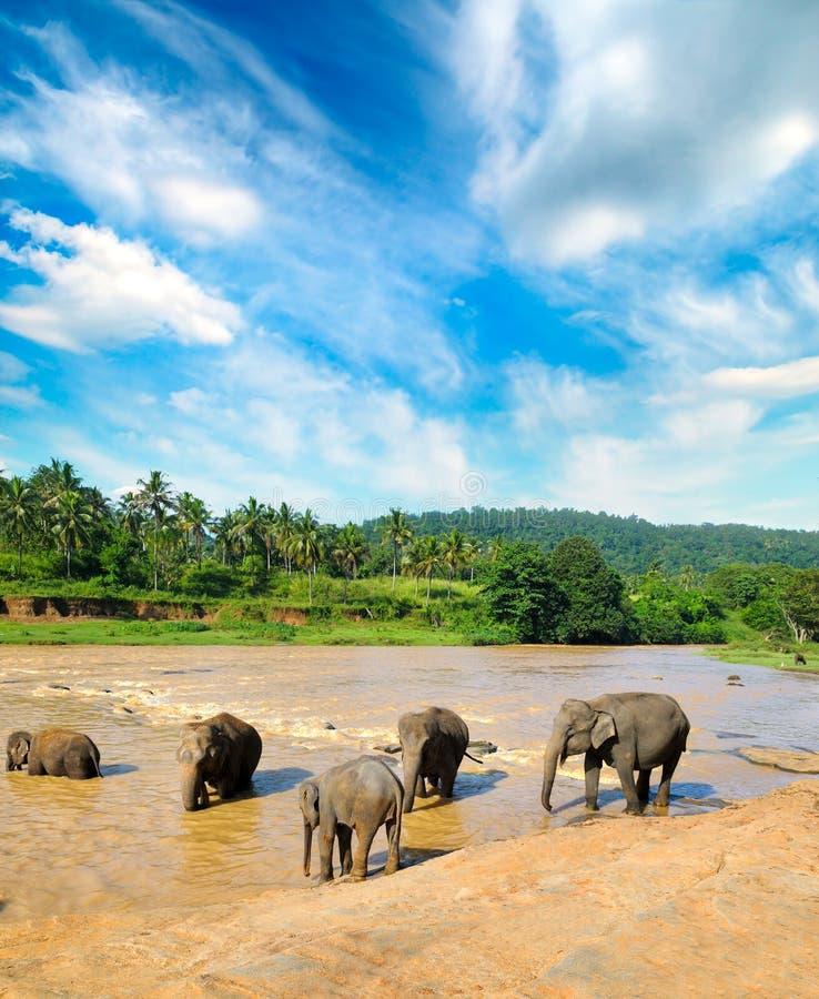 Elefantes que se bañan en el río de la selva de Sri Lanka imágenes de archivo libres de regalías