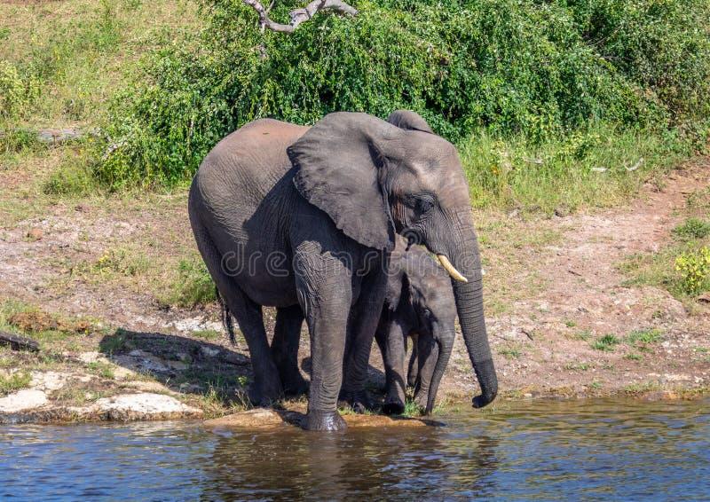 Elefantes que se bañan y que juegan en el agua del río del chobe en Botswana imagenes de archivo