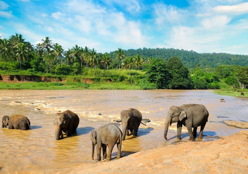 Elefantes que se ba?an en el r?o de la selva de Sri Lanka imagen de archivo