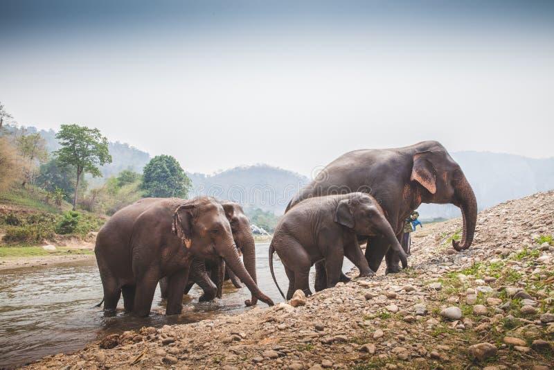 4 elefantes salen el río imagen de archivo