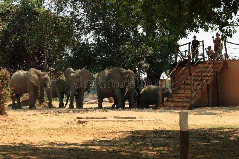 Elefantes salvajes en el sitio para acampar imagen de archivo libre de regalías