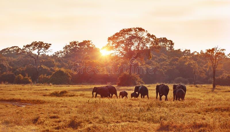 Elefantes salvajes manchados durante safari fotografía de archivo libre de regalías