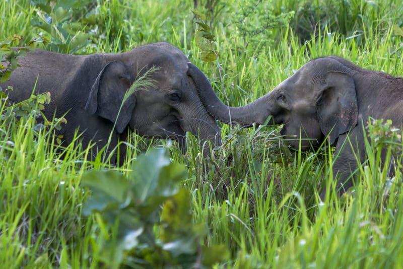 Elefantes salvajes que juegan al lado del camino cerca de Habarana en Sri Lanka imágenes de archivo libres de regalías