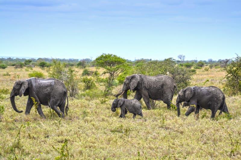 Elefantes selvagens, rebanho fotos de stock
