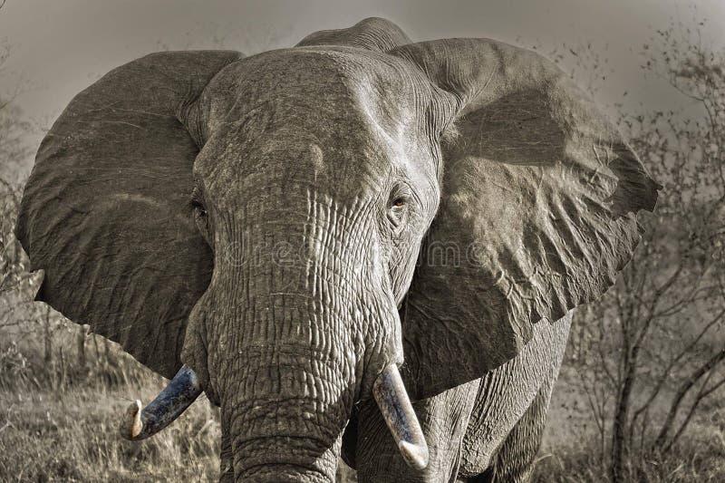 elefantes imagens de stock