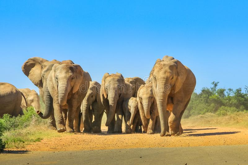 Elefantes Suráfrica que camina foto de archivo
