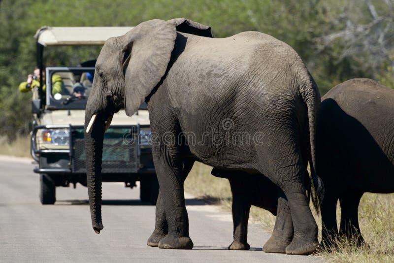 Elefantes y turista foto de archivo