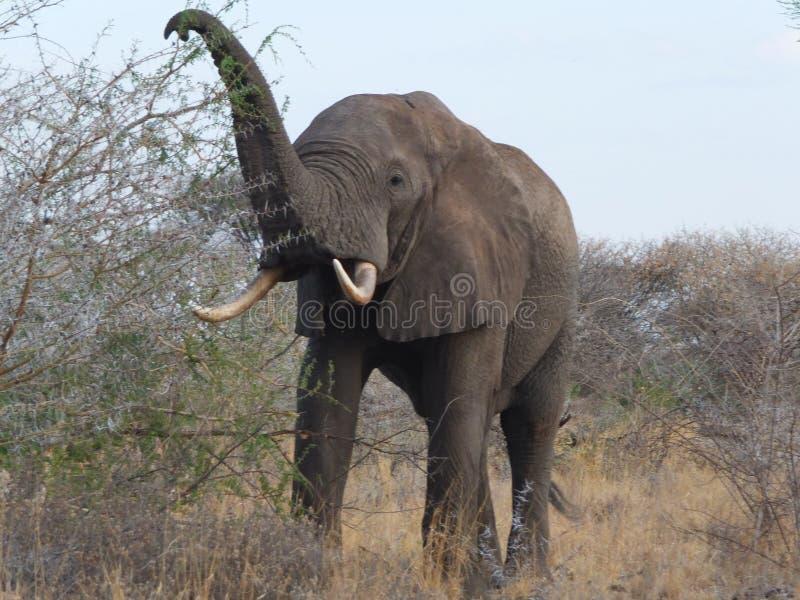 Elefantessen lizenzfreie stockfotos