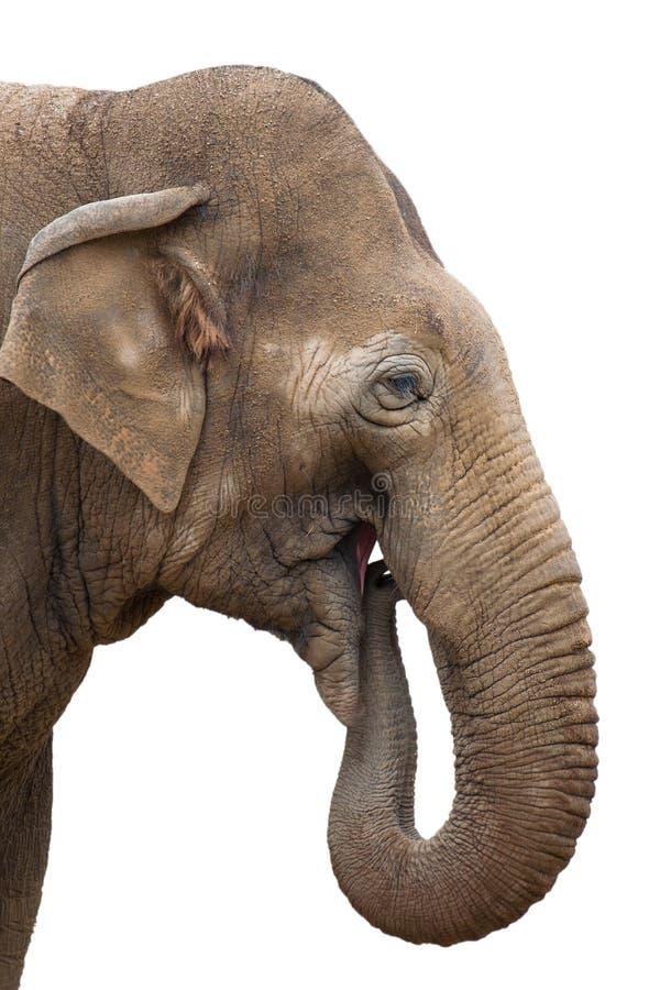 Elefantessen lokalisiert lizenzfreies stockfoto