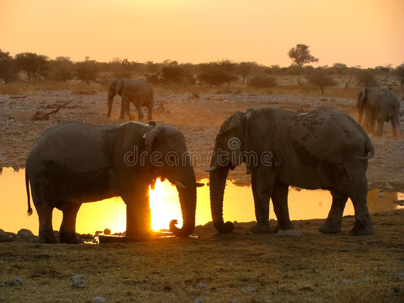ElefantEtosha nationalpark arkivfoto