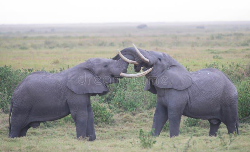 Elefantförälskelse arkivbilder