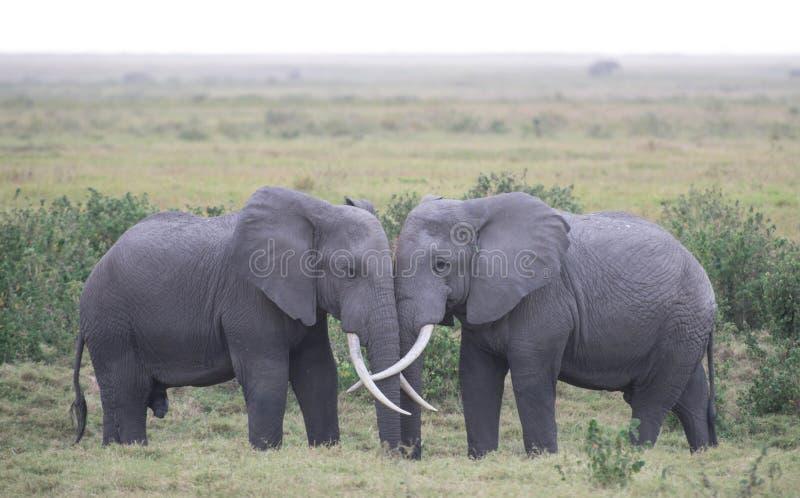 Elefantförälskelse royaltyfri bild
