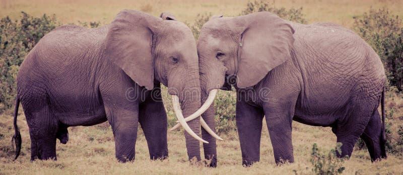 Elefantförälskelse arkivfoto