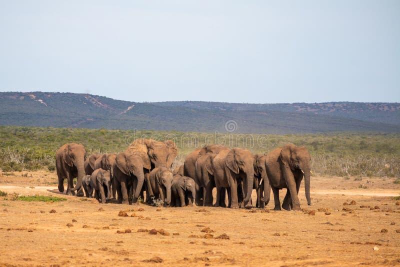 Elefantfamilie in Bewegung lizenzfreie stockfotografie