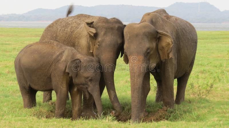 Elefantfamilie in Nationalpark Minneriya lizenzfreies stockfoto