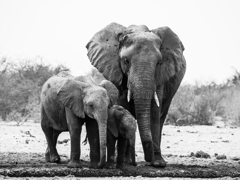 Elefantfamilie in Schwarzweiss lizenzfreies stockfoto