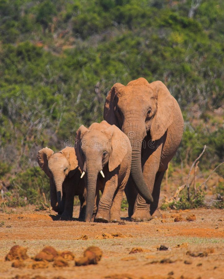 elefantfamilj royaltyfri bild
