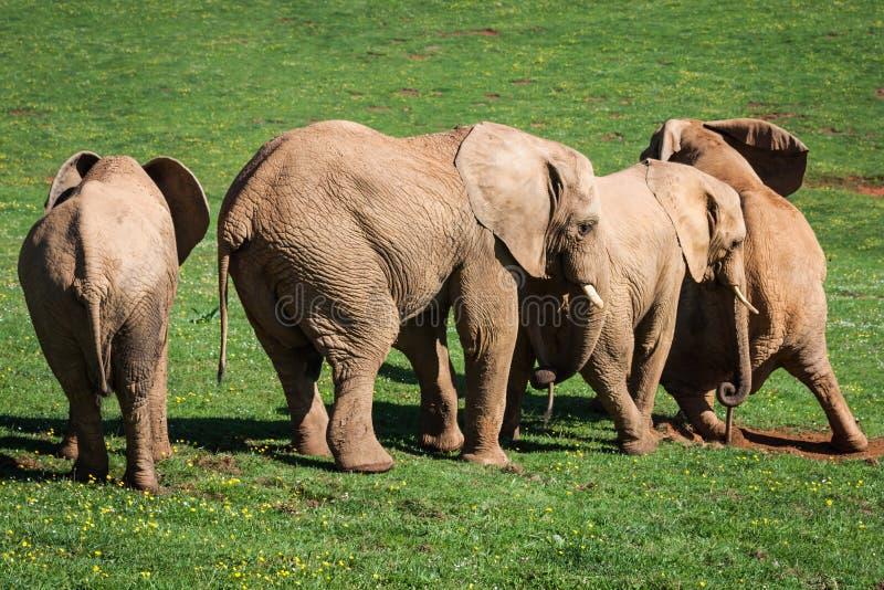 Elefantfamilj på afrikansk savann Safari i Amboseli, Kenya, royaltyfri fotografi
